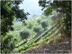 Description: illside vineyard and olive trees in Northern Portugal